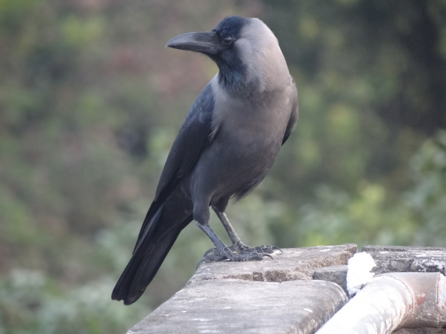 House_Crow_in_Kolkata