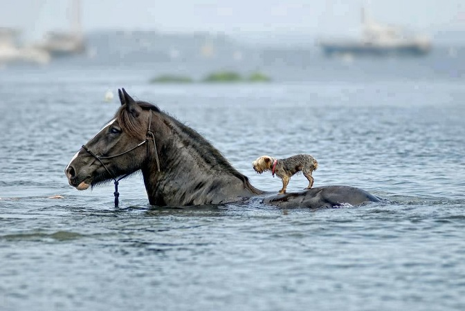 horse_dog_swimming - Copy